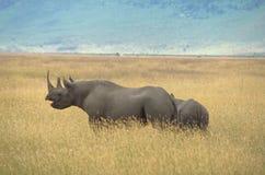 Rinoceronte preto Foto de Stock Royalty Free