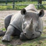 Rinoceronte preto africano do leste que olha em linha reta à câmera Fotografado no porto Lympne Safari Park perto de Ashford Kent imagem de stock royalty free