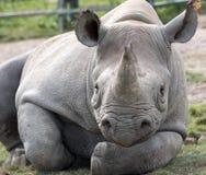 Rinoceronte preto africano do leste que olha em linha reta à câmera Fotografado no porto Lympne Safari Park perto de Ashford Kent fotografia de stock royalty free