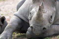 Rinoceronte preto africano do leste que olha em linha reta à câmera Fotografado no porto Lympne Safari Park perto de Ashford Kent fotos de stock royalty free
