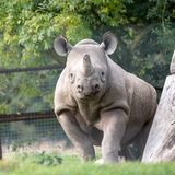 Rinoceronte preto africano do leste que olha em linha reta à câmera Fotografado no porto Lympne Safari Park perto de Ashford Kent imagens de stock royalty free