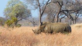 Rinoceronte preto masculino Fotos de Stock Royalty Free