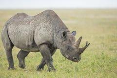 Rinoceronte preto masculino (bicornis) do Diceros Tanzânia Imagens de Stock Royalty Free