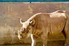 Rinoceronte preto San Diego Wild Animal Park imagem de stock royalty free