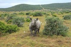 Rinoceronte preto solitário Fotografia de Stock