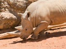 Rinoceronte (quadrato-lipped) bianco Fotografia Stock Libera da Diritti