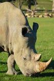 Rinoceronte que alimenta en África Imágenes de archivo libres de regalías