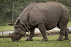 Rinoceronte que alimenta no parque e no jardim zoológico do safari de West Midlands Fotografia de Stock