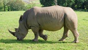 Rinoceronte que anda à esquerda Foto de Stock