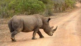 Rinoceronte que anda através de uma estrada seca no parque nacional de Kruger Foto de Stock Royalty Free