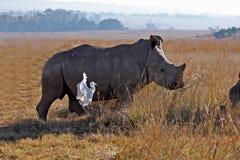 Rinoceronte que anda no campo Imagens de Stock