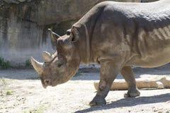 Rinoceronte que camina Fotos de archivo