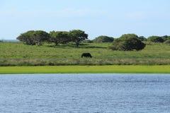 Rinoceronte que camina en la sabana Fotos de archivo libres de regalías