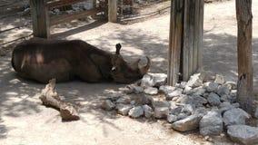 Rinoceronte que coloca em The Sun Fotos de Stock Royalty Free