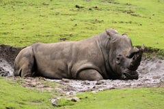 Rinoceronte que coloca na lama fotos de stock