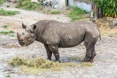 Rinoceronte que come el heno en el parque zoológico foto de archivo
