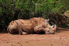Rinoceronte que descansa en media sombra foto de archivo libre de regalías