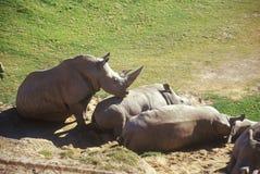 Rinoceronte que expõe-se ao sol em San Diego Zoo, CA Imagens de Stock