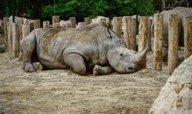 Rinoceronte que miente en la tierra Fotografía de archivo