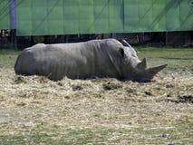 Rinoceronte que miente en la tierra imágenes de archivo libres de regalías