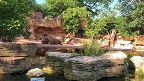 Rinoceronte que miente y que se enfría en la tierra de piedra que pasa cerca en un barco en el parque zoológico Hannover almacen de video