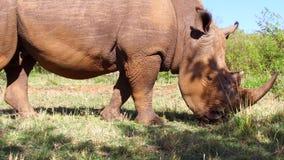 Rinoceronte que olha no savana em África video estoque