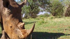 Rinoceronte que olha no savana em África filme