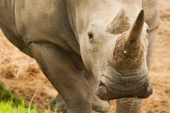 Rinoceronte que olha o Imagens de Stock