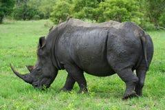 Rinoceronte que pasta Imágenes de archivo libres de regalías