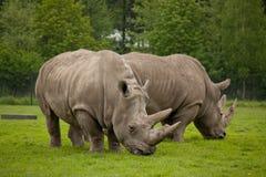 Rinoceronte que pasta fotografía de archivo libre de regalías