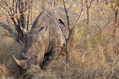 Rinoceronte que pasta Imagem de Stock Royalty Free