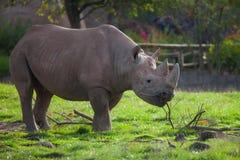 Rinoceronte que pasta em um campo Fotos de Stock