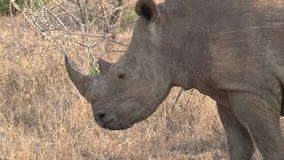 Rinoceronte que pasta en la sabana metrajes