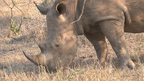 Rinoceronte que pasta en la sabana almacen de video