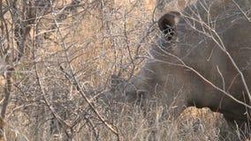 Rinoceronte que pasta en la sabana almacen de metraje de vídeo