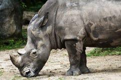 Rinoceronte que reflexiona sobre abajo Imagen de archivo