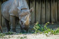 Rinoceronte que se acerca a su comida Imagenes de archivo