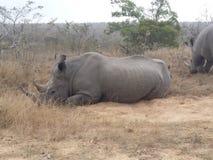 Rinoceronte que se acuesta Fotografía de archivo