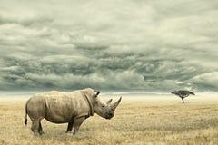 Rinoceronte que se coloca en savana africano seco con las nubes dramáticas pesadas arriba Imagen de archivo libre de regalías