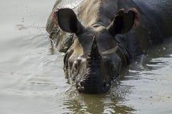 Rinoceronte que se refresca apagado Fotografía de archivo