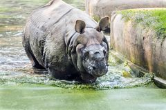 Rinoceronte que toma un baño imagen de archivo libre de regalías
