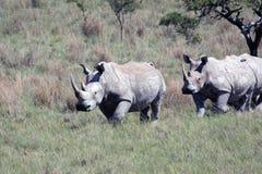 Rinoceronte, rinoceronte, parque nacional de Kruger Imágenes de archivo libres de regalías