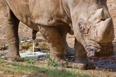 Rinoceronte salvaje Imagen de archivo