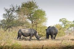 Rinoceronte selvaggio nel parco nazionale di Kruger, SUDAFRICA Immagine Stock Libera da Diritti