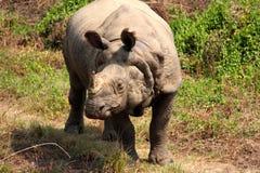 Rinoceronte solo Immagini Stock