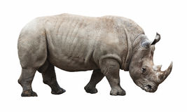 Rinoceronte su fondo bianco Fotografia Stock Libera da Diritti