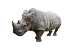 Rinoceronte su fondo bianco Immagini Stock