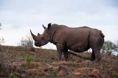 Rinoceronte sulla collina al parco di safari in Sauth Africa fotografie stock libere da diritti