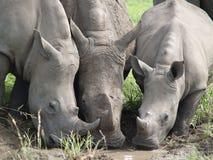 Rinoceronte tres que bebe de un charco Fotografía de archivo libre de regalías
