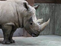 Rinoceronte triste cinzento em um aviário fotografia de stock